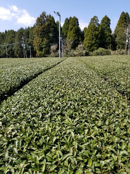 Tea fields in Kagoshima